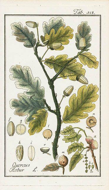 Quercus robur, Oak – oak leaf/acorn botanical illustration – Johannes Zorn, Icones Plantarum Medicinalium 1779