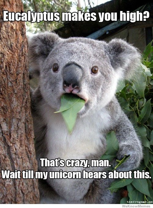 This is why koalas are so laid back