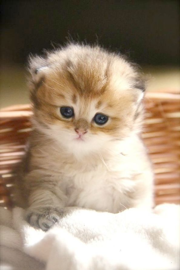 Impressive Cats And Kittens For Sale Adelaide Valuable Cute Baby Cats Kittens Cutest Baby Cats