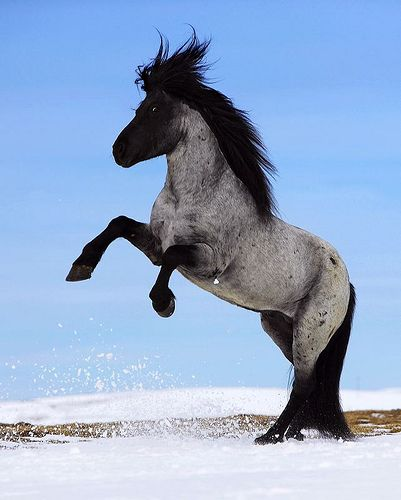 The typical Icelandic horse is rectangular and compact in shape. It has a large, well defined, proud and alert head and a short, strong neck.