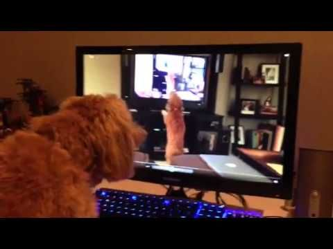 Dog Barks While Viewing A Video of Herself Barking at a Video of Herself Barking