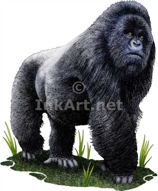 Full color illustration of a Mountain Gorilla (Gorilla beringei beringei)