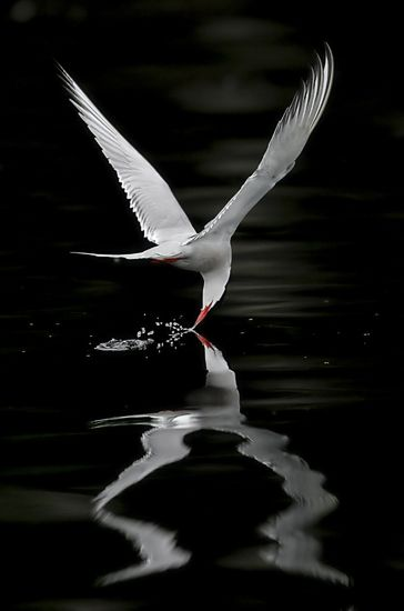 Arctic Tern - Miguel Lasa: Arctic Tern, Reflection, Natural Photography, Art, Beautiful Birds, Feathers, Miguel Lasa, Black, Animal