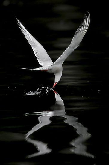 Arctic Tern - Miguel Lasa  exquisite photo of most photogenic, acrobatic aerial beauty!!!