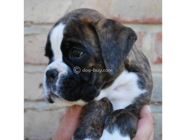 Boxer Dog Puppies For Sale In Bangalore