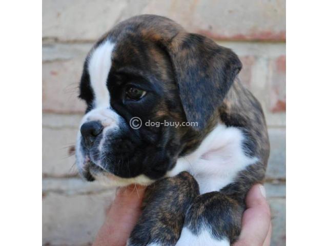 Boxer Dog Sale In Bangalore