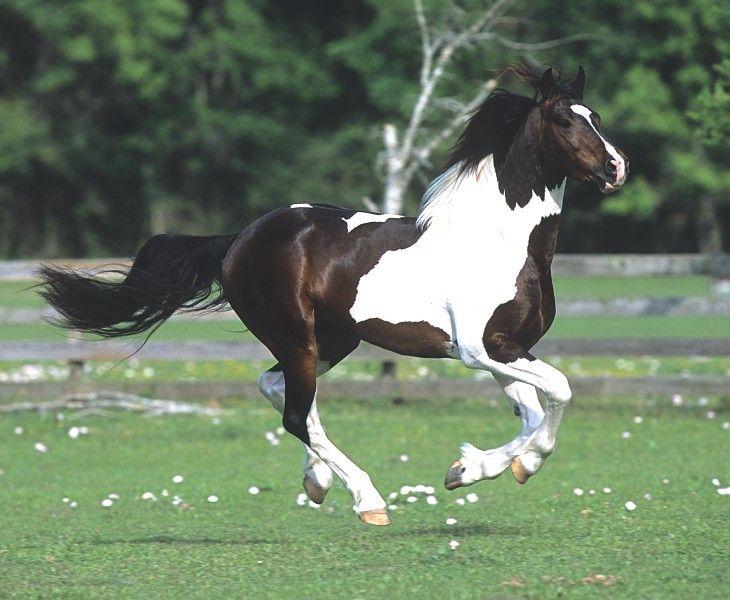 Georgian Grande Stallion-Tucummcari