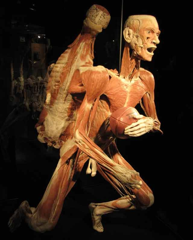 Body Worlds The Cycle Of Life Exhibiting Real Human Bodies In Cape
