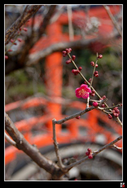 Ume blooming at Shimogamo Shrine in Kyoto