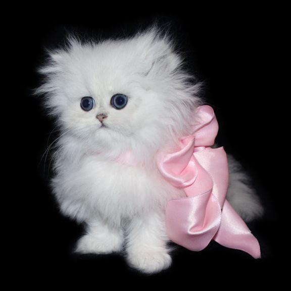 Teacup Persian Kittens of CatsCreation