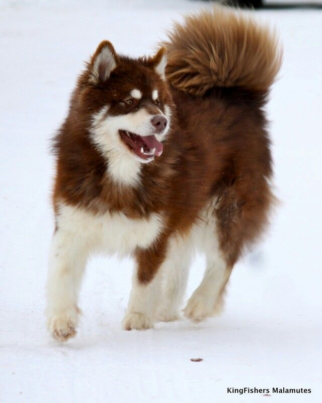 Giant Alaskan Malamute--the exact color and type i wanted. maybe this one is from Wakon Kennels, too?