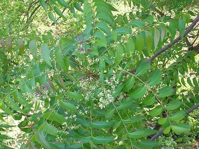 Neem Oil Benefits: Take the Best from the Oil