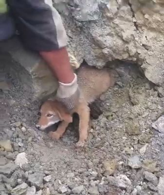 Baby Coyote Is Stuck In A Collapsed Den