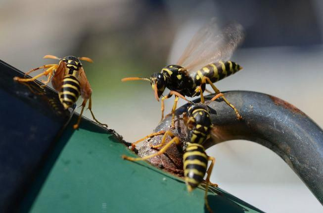 Simple To Follow Ideas About Pest Control Which Will Really Allow You To In 2020 Wasp Nest Wasp Traps
