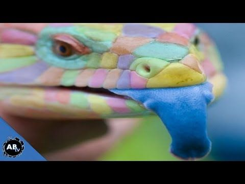 World's Most Colorful Lizards! SnakeBytesTV - YouTube