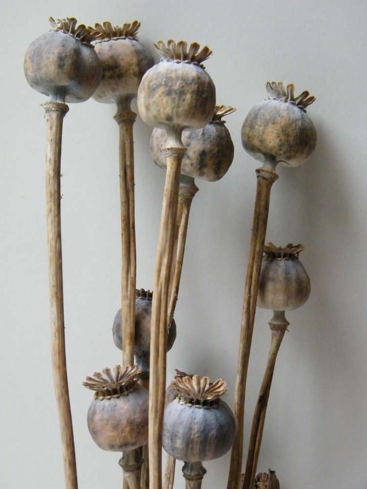 254 best from tiny seeds images on pinterest beautiful colors and natural seed pods of the poppy flower dried seed pods for flower arranging mightylinksfo Gallery