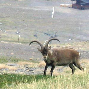 The Pyrenean ibex (Capra pyrenaica pyrenaica) was a subspecies of the Iberian wild goat that went extinct in 2000.   Once found throughout the French, Spanish and Andorran Pyrenees, the population was severely thinned by hunting.   In 2009, scientists were able to clone a female Pyrenean ibex using DNA from preserved skin samples. Due to lung defects, the ibex died shortly after birth, according to The Telegraph.