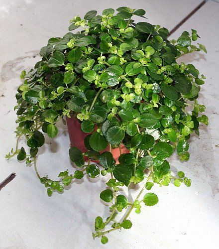 Ground cover for Fairy gardens: Large Leaf Baby Tears Plant (Pilea depressa) - Easy to Grow