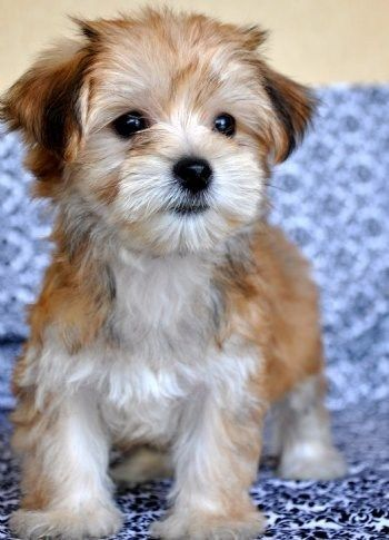 {Morkie: Maltese and Yorkie Mix}  OK so I don't want a puppy right now, but if I did it would be this cutie!