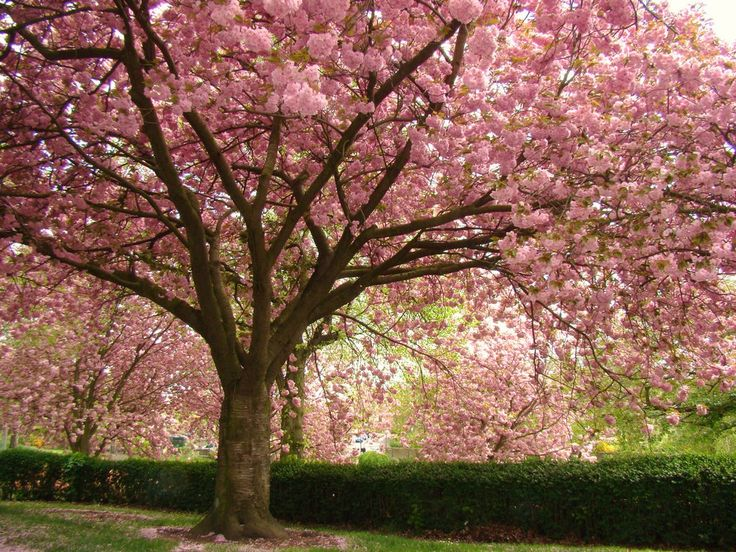 Blossom trees, simply wonderful.