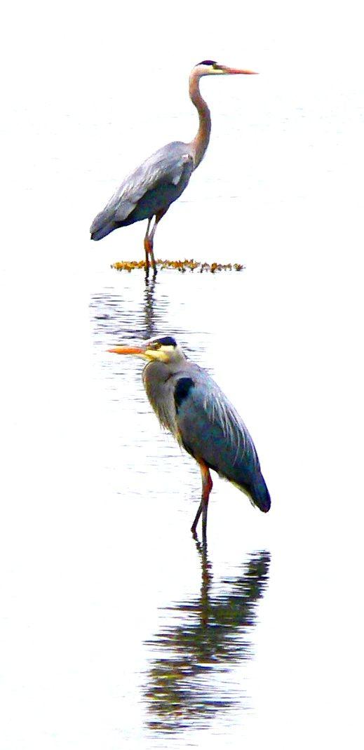 hornby heron