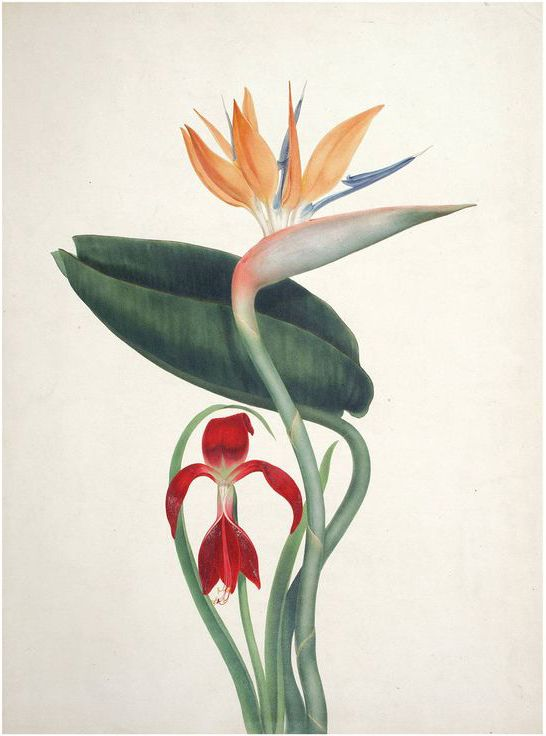 // Augusta Withers, Bird of Paradise and Amaryllis, 1830. Original watercolor on artist's board. London. Ursus Books