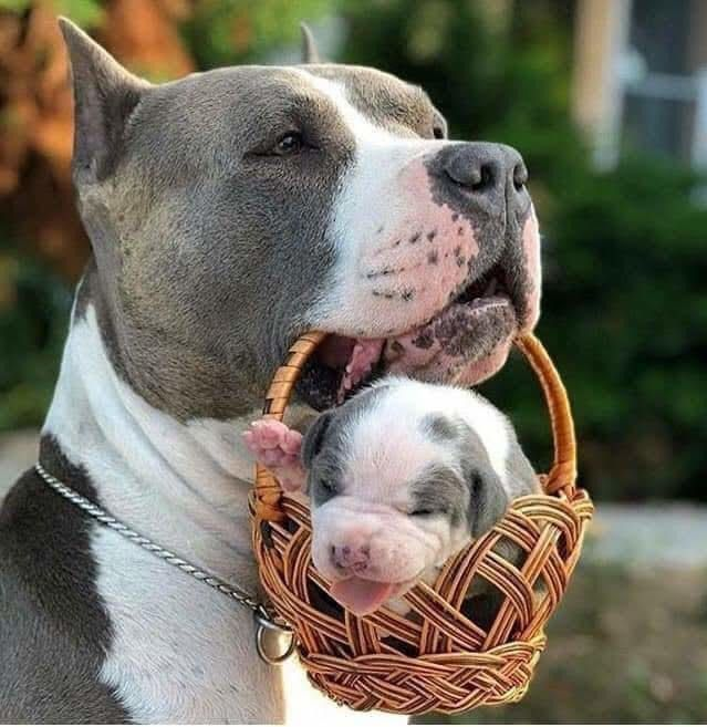 Pitty Puppy In A Basket Pitbulls Dogs Puppies