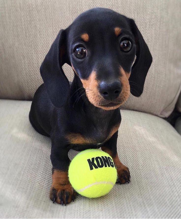 """Martha (@martha_dachshund) on Instagram: """"Playtime?  #throwback . . . . . . . . . . . . #dailyfluff #tbt @dachshundappreciation…"""" #Dachshund"""