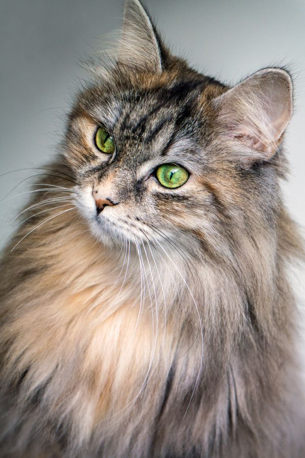 Beautiful Cat With Green Eyes Stunning Cat Portrait Beauty