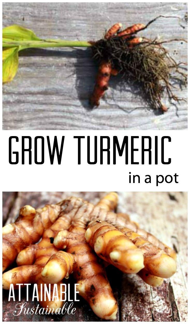 Growing turmeric in a pot or in the garden. Plus turmeric recipes!