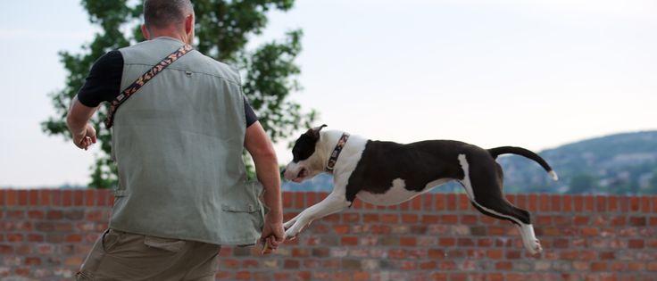 Dog Parkour/amstaff Viki & Viktor