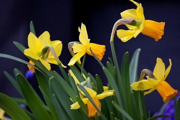 Elegant And Graceful The Cyclamineus Or Miniature Daffodils Feature Small Flowers One Per Stem With Slightly To Strongly Swept Ba Daffodils Narcissus Plants