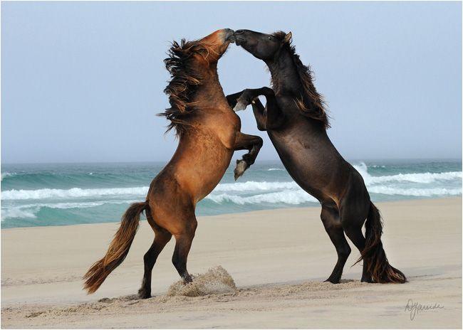 See the wild horses of Canada's newest national park, Sable Island, Nova Scotia. #travel #bucketlist