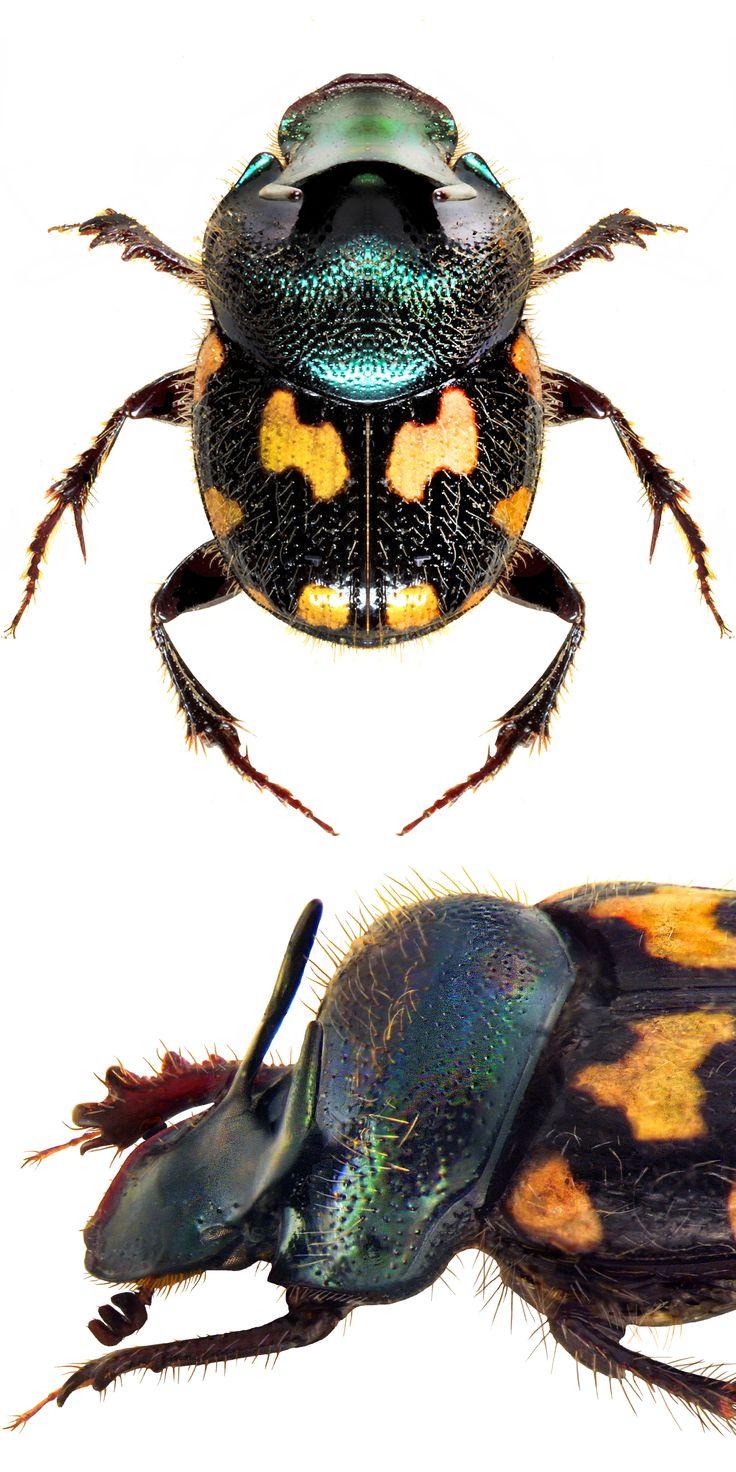 Onthophagus kchatriya