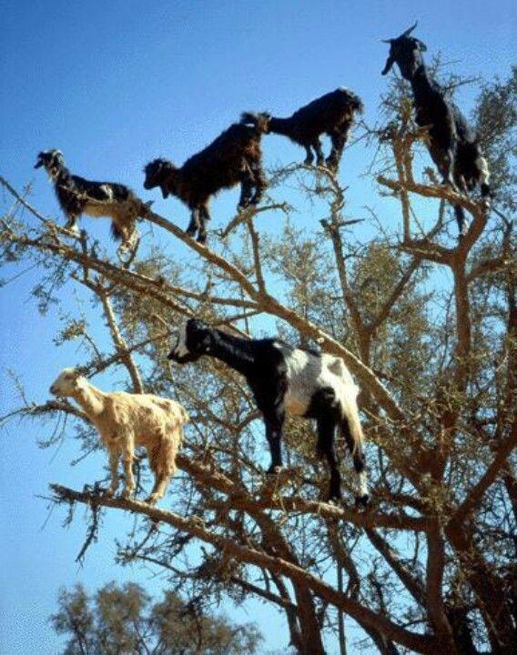 Morocco goats can climb tees like cheetahs
