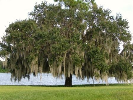 live oak tree pictures | ... , we feature great non-flowering trees that are grown for shade