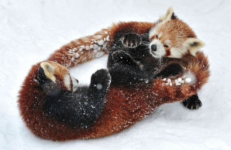 Красные панды в венском зоопарке Шенбрунн - Путешествуем вместе