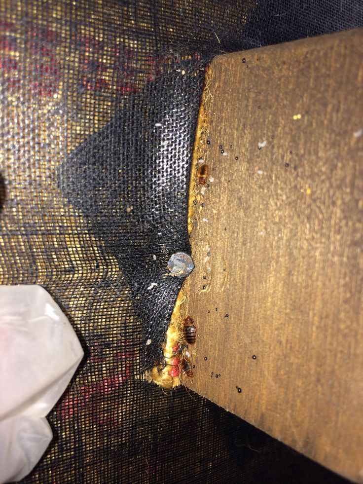 Bedbugs found under this couch Bed bugs, Health remedies