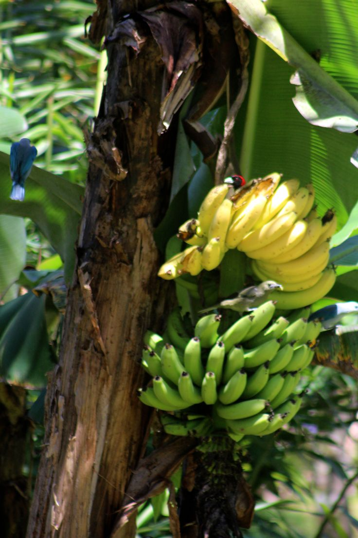 Almost ready to eat. Ripening bananas in our tropical garden. Be part of the dream at Golfo Dulce Retreat www.gdretreat.com