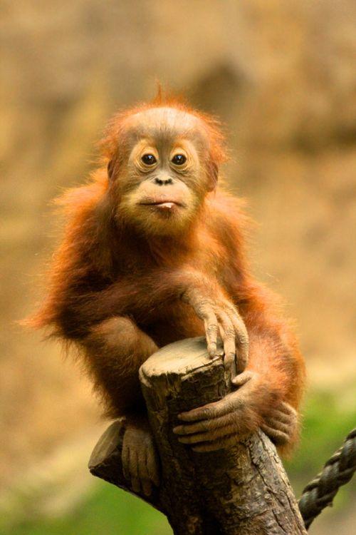 The endangered orangutan:  beyond adorable.