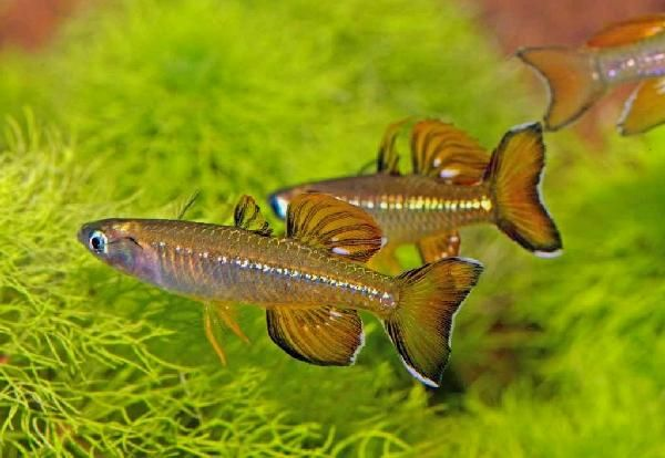 Pseudomugil tenellus delicate blue eye 2 rainbowfish for Freshwater schooling fish