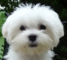 maltese puppy cut styles - Google Search