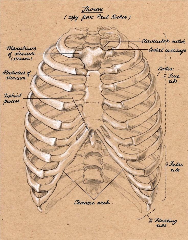 rib cage front | anatomia | Pinterest | Rib cage, Anatomy ...