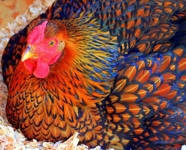 Silver Laced Wyandotte Chickens | Recent Photos The Commons 20under20 Galleries World Map App Garden ...