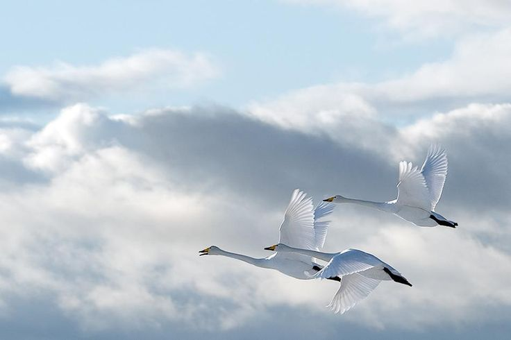 Swans in the sky  © Anne Ueland