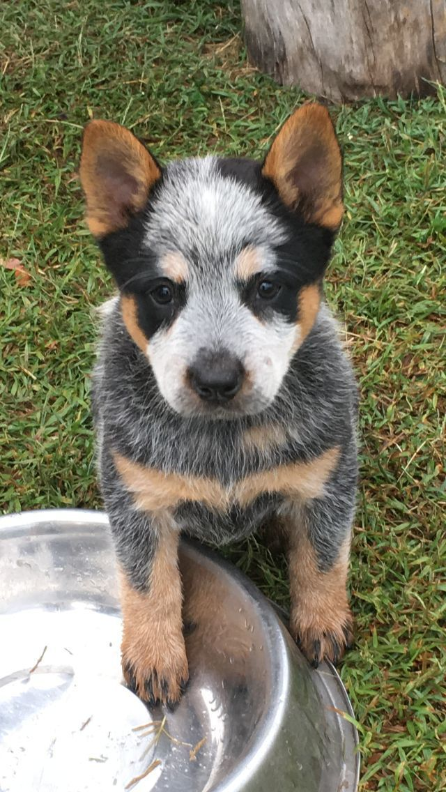 Cooroorah Australian Cattle Dogs In 2020 Austrailian Cattle Dog