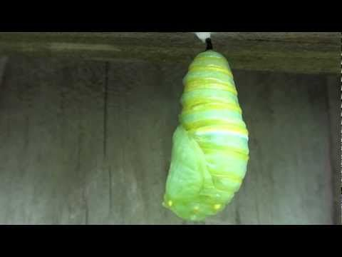 Monarch Butterfly Transformation: Caterpillar to Chrysalis - YouTube
