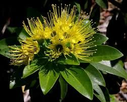 Image result for xanthostemon chrysanthus fairhill gold