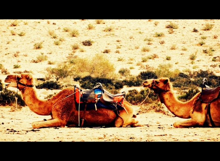 camels, negev desert