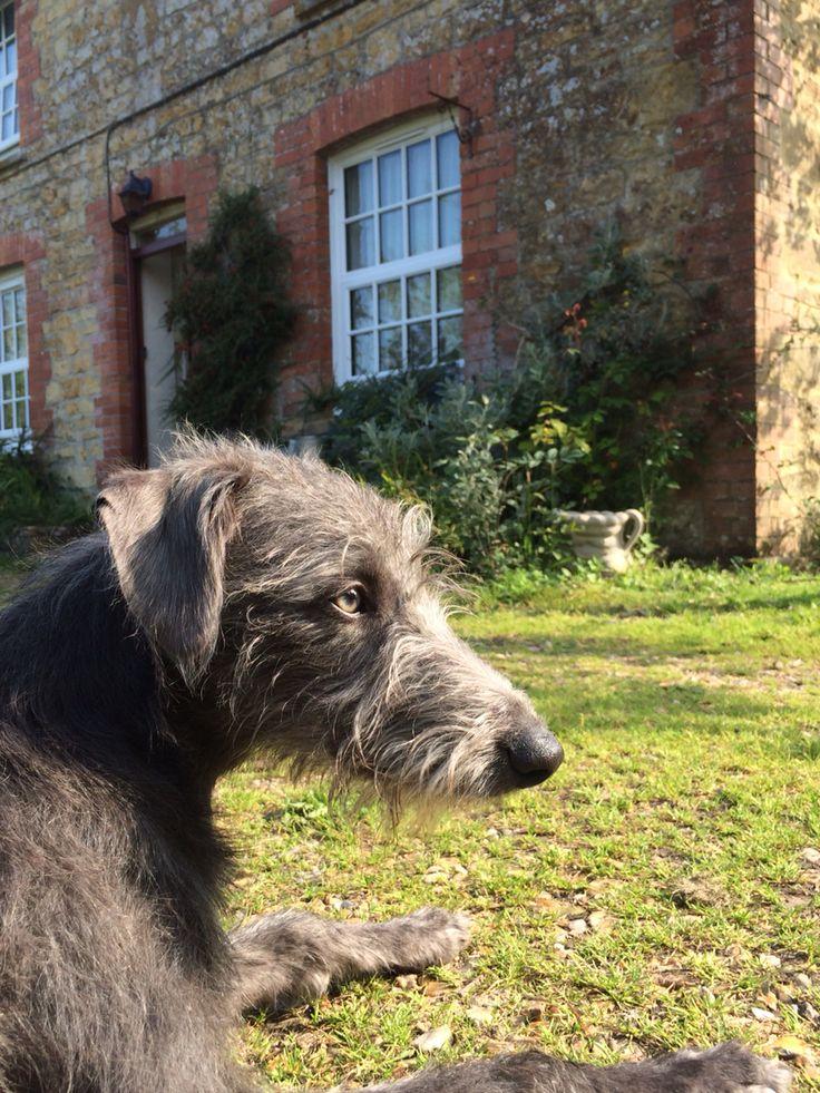 bedlington whippet, dog, puppy, cute, lurcher, pet, scruffy, terrier, grey